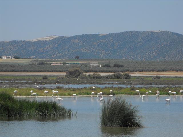 Wild Flamingoes in their natural habitat
